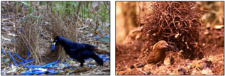 Different species of bowerbird construct elaborate bowers and decorate them with different colors in order to woo females. The Satin bowerbird (left) builds a channel between upright sticks, and decorates with bright blue objects, while the MacGregor's Bowerbird (right) builds a tall tower of sticks and decorates with bits of charcoal. Evolutionary changes in mating rituals, such as bower construction, can contribute to speciation.